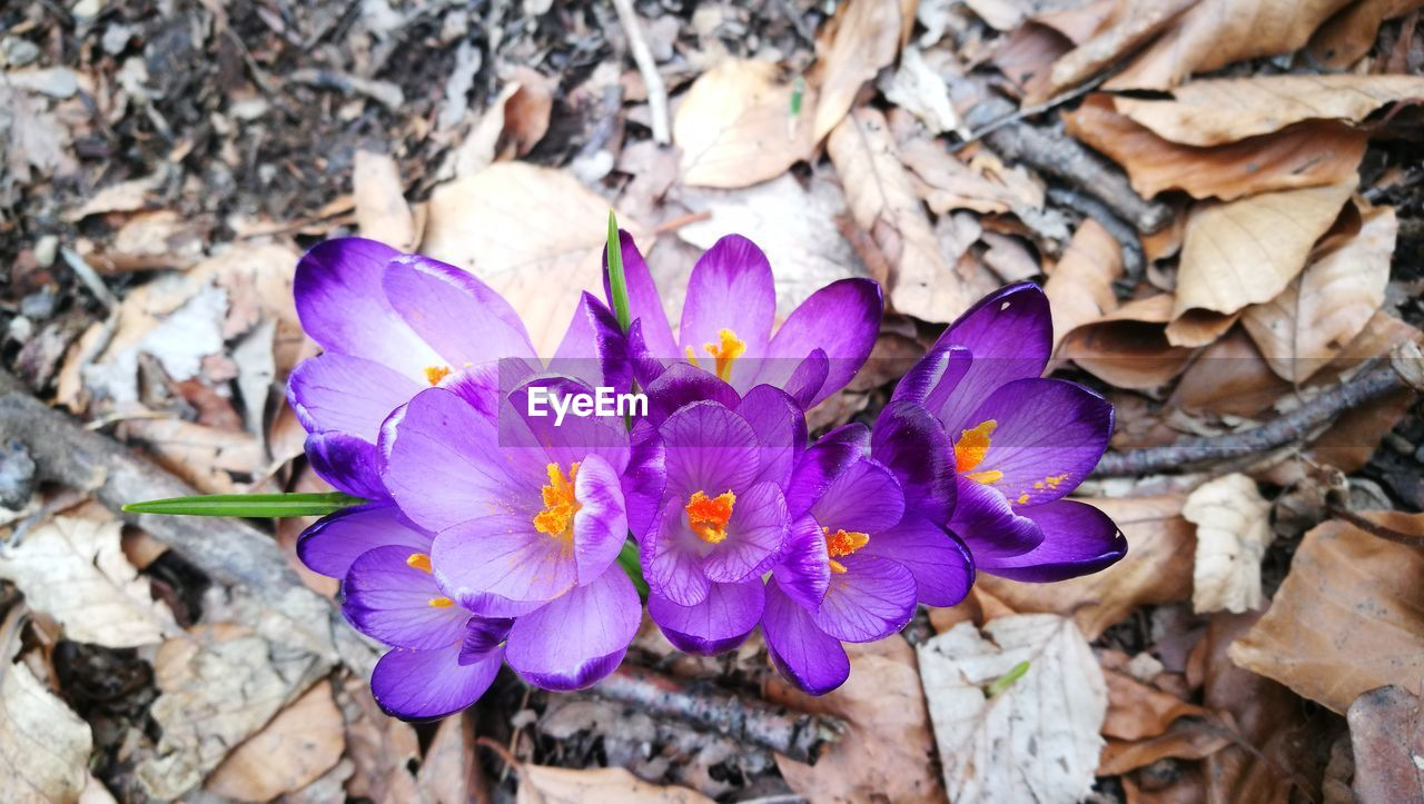 flower, nature, petal, beauty in nature, fragility, purple, growth, outdoors, plant, flower head, no people, day, close-up, leaf, freshness, blooming, crocus