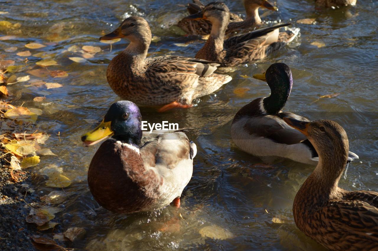 Flock of birds swimming on lake