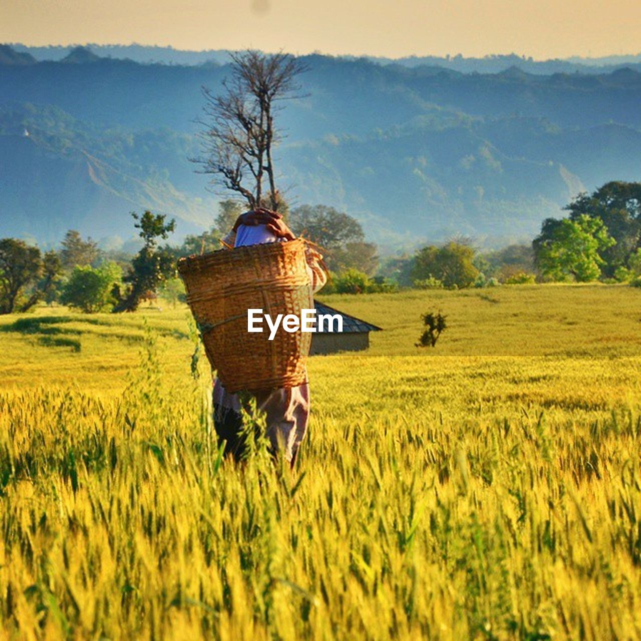 field, agriculture, farm, landscape, nature, tree, rural scene, farmer, growth, crop, real people, men, rear view, outdoors, occupation, beauty in nature, day, scenics, basket, mammal, sky, farm worker, grass, scarecrow, working, cereal plant, one person, people