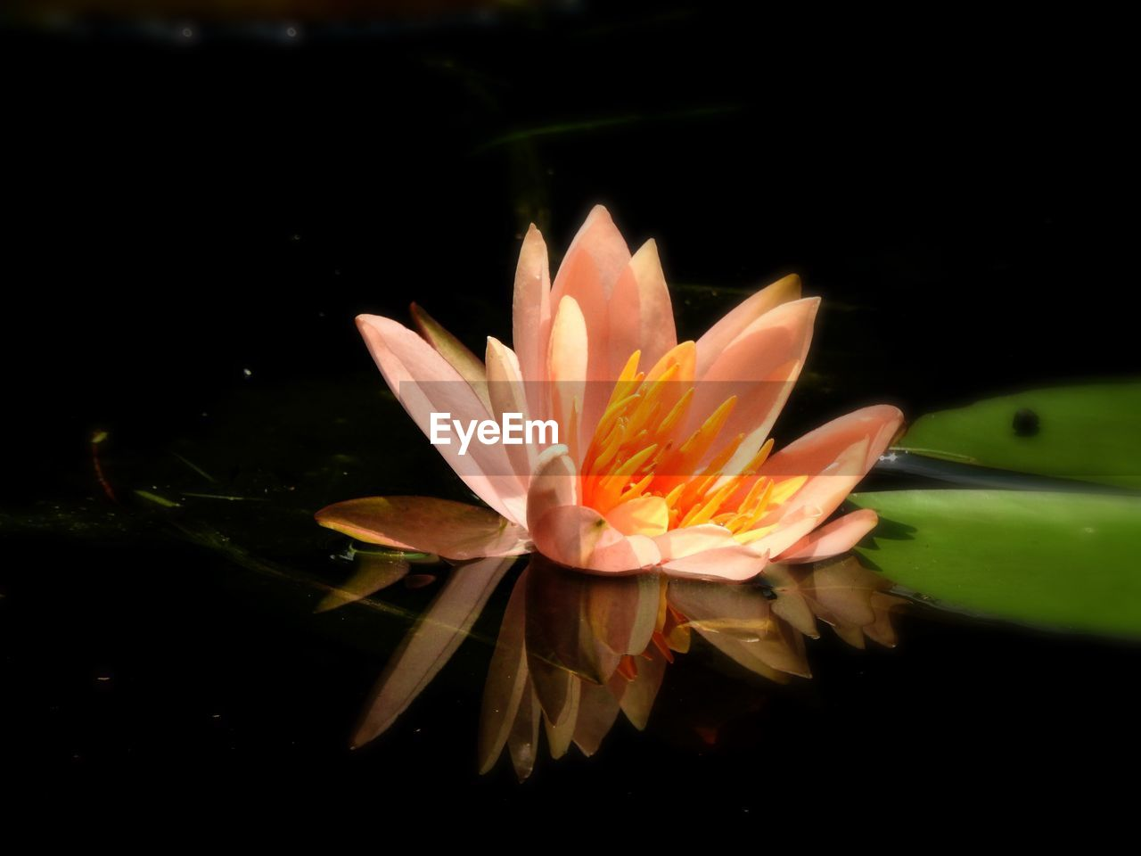 flower, petal, beauty in nature, freshness, flower head, fragility, nature, growth, blooming, plant, leaf, no people, close-up, outdoors, day, water, lotus water lily