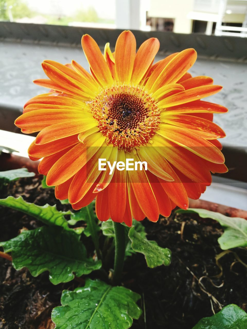 flower, petal, flower head, fragility, freshness, beauty in nature, nature, plant, growth, orange color, blooming, pollen, outdoors, day, no people, close-up, gazania, springtime, focus on foreground, yellow, leaf
