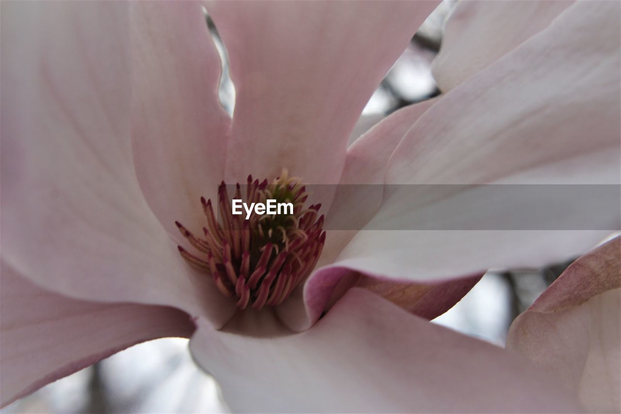 flowering plant, vulnerability, flower, fragility, plant, petal, freshness, beauty in nature, close-up, flower head, growth, inflorescence, pollen, nature, pink color, selective focus, day, extreme close-up, magnolia, finger