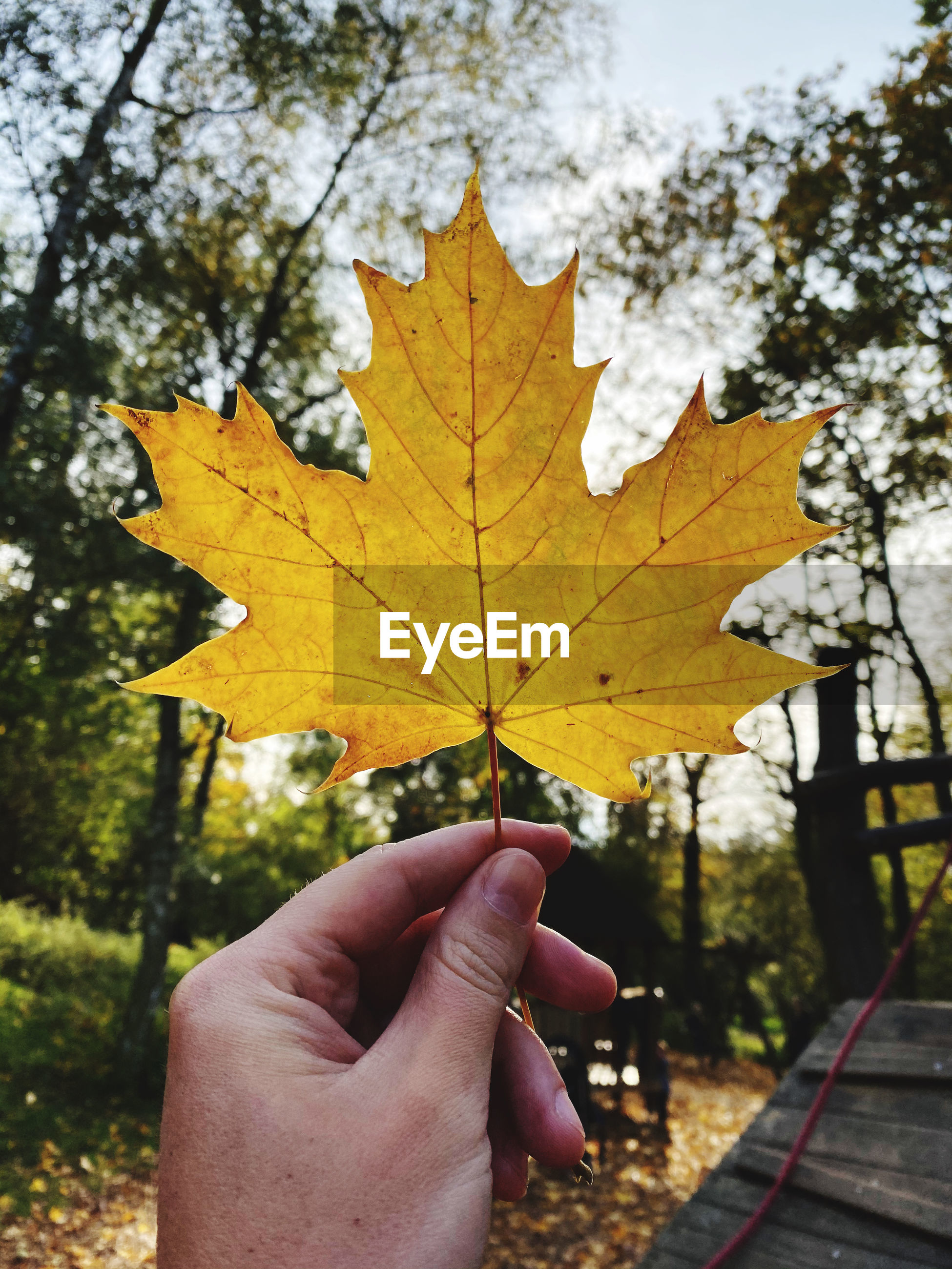 Hand holding maple leaf during autumn