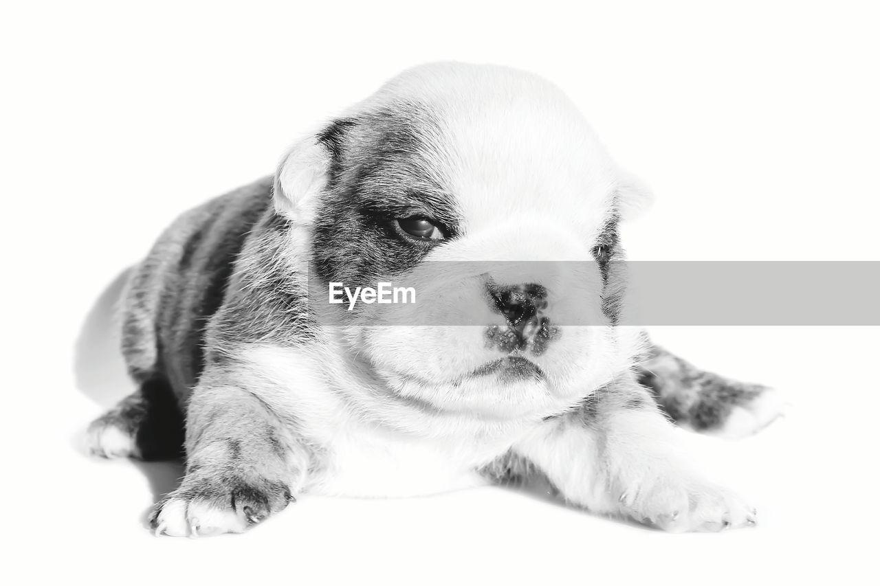 Portrait of english bulldog puppy against white background
