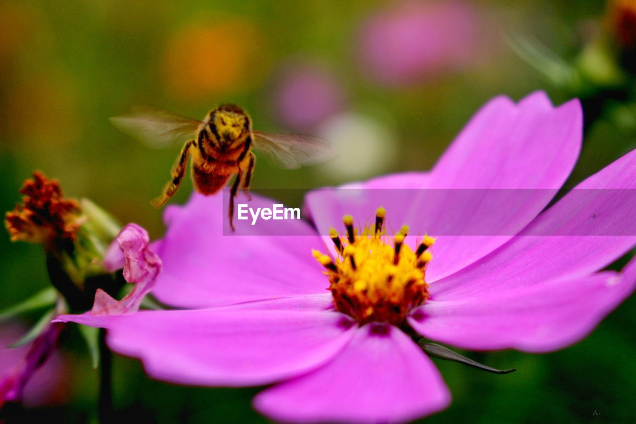 flower, petal, fragility, insect, animal themes, animals in the wild, one animal, nature, beauty in nature, freshness, flower head, no people, growth, plant, close-up, animal wildlife, pollen, day, pollination, outdoors, bee, pink color, blooming