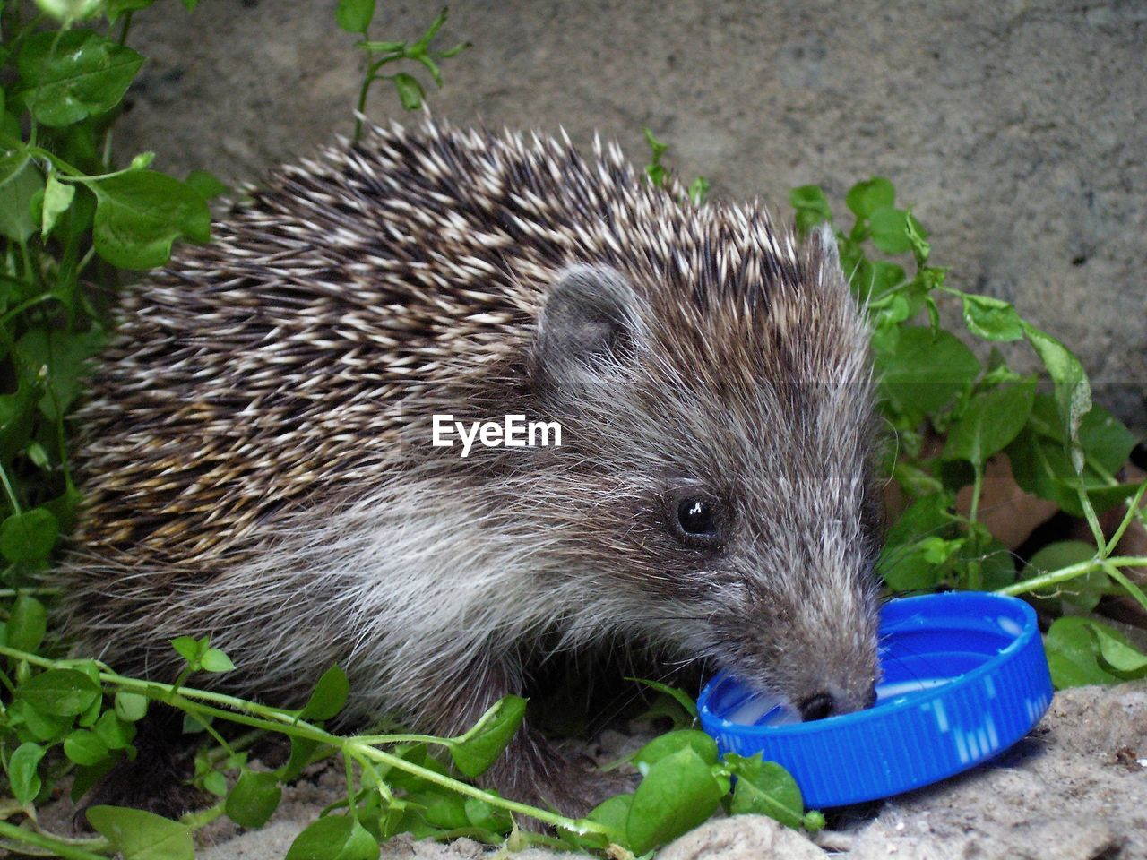 one animal, animal wildlife, animal, animal themes, mammal, hedgehog, animals in the wild, no people, close-up, nature, plant, plant part, leaf, outdoors, rodent, vertebrate, looking, day, cute, focus on foreground