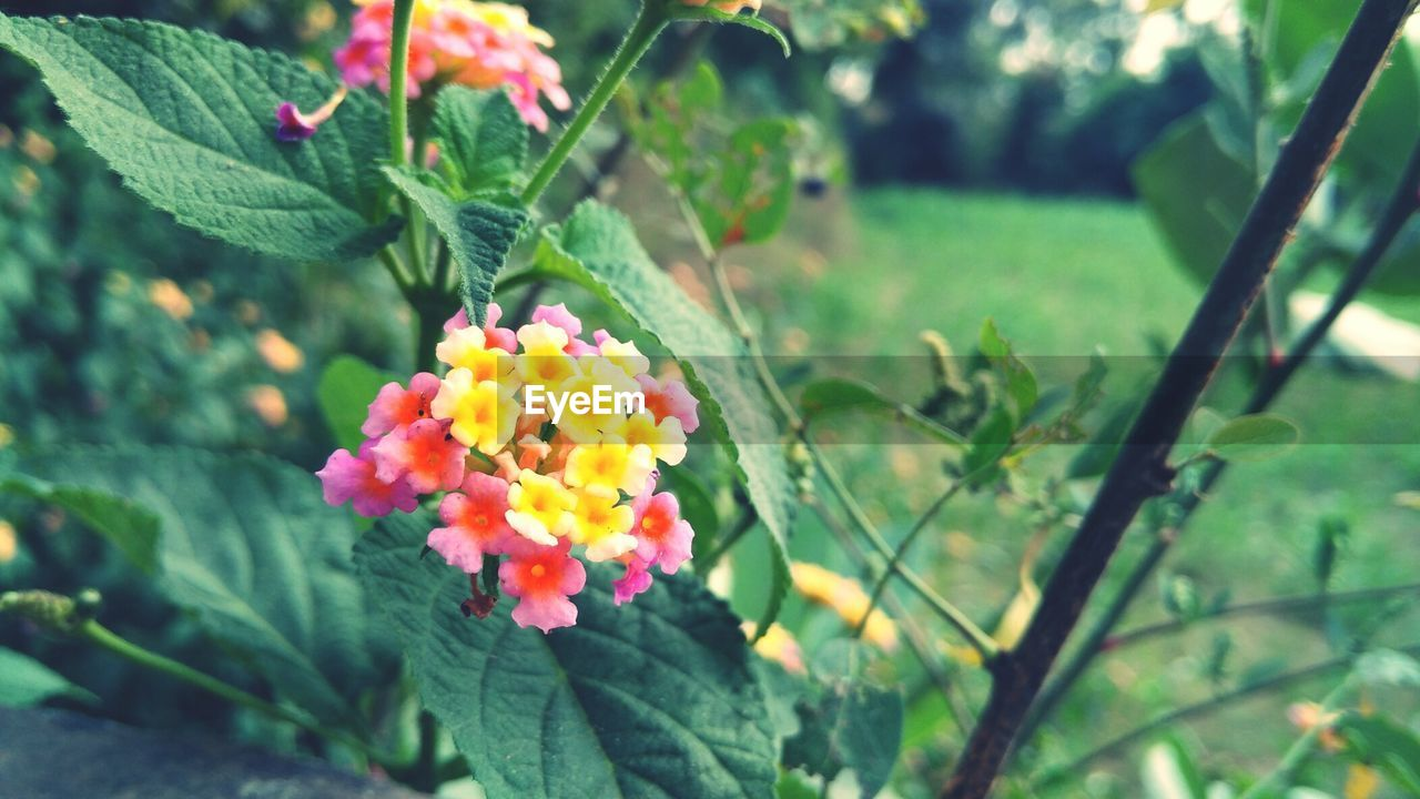 Close-up of lantana camara blooming outdoors