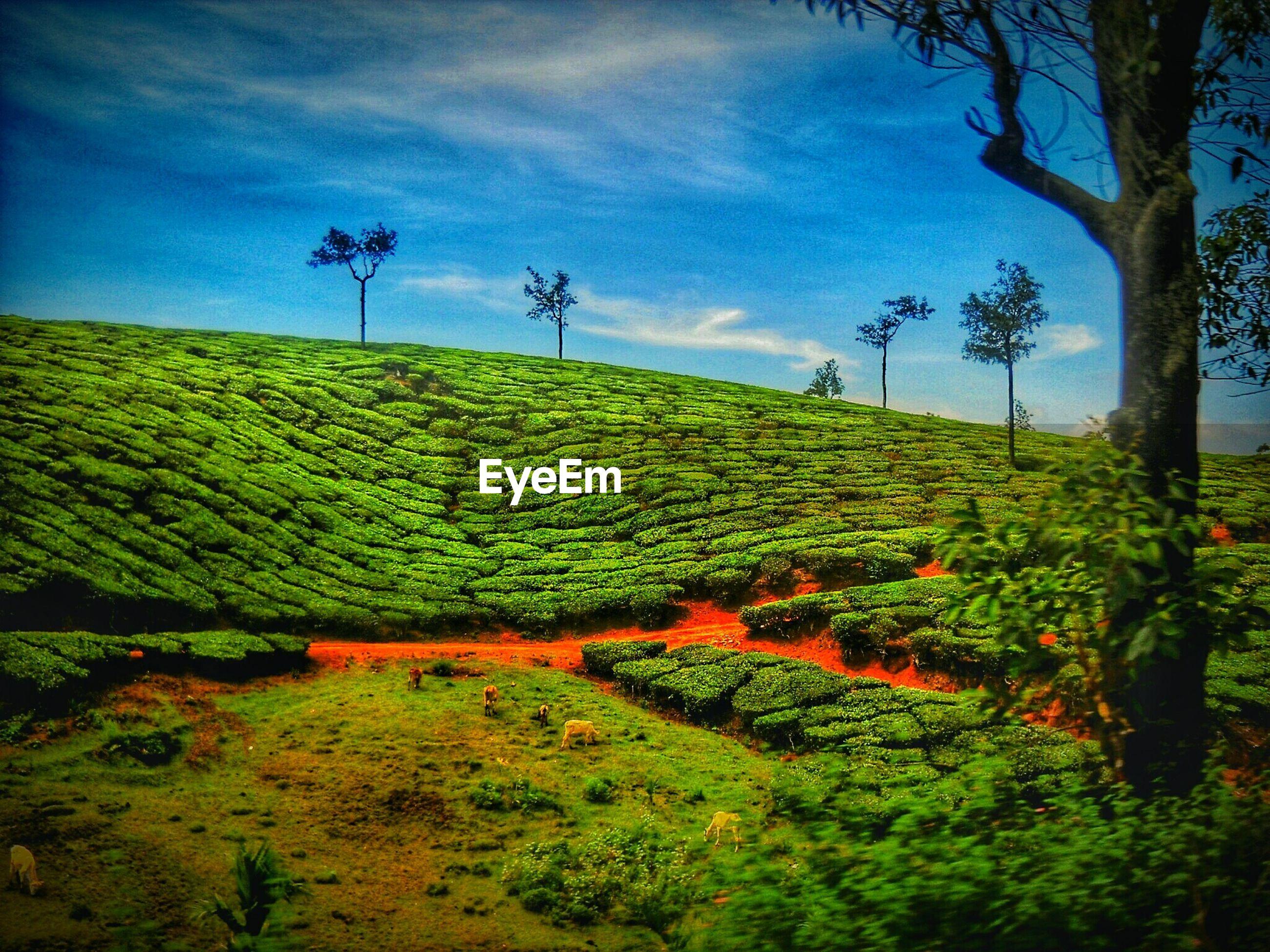 Scenic view of tea garden against blue sky