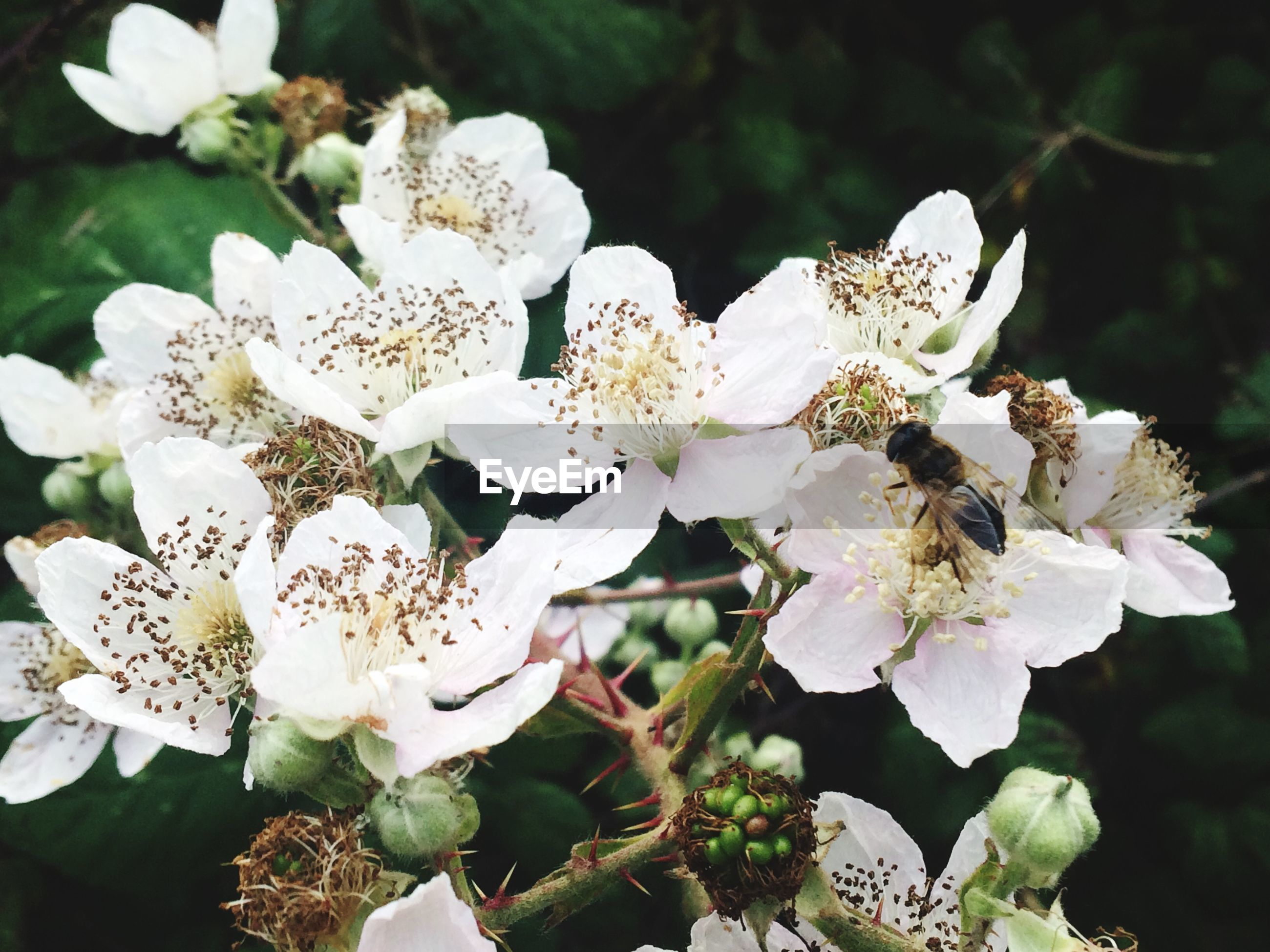 Close-up of bee pollinating on white flower growing at plant