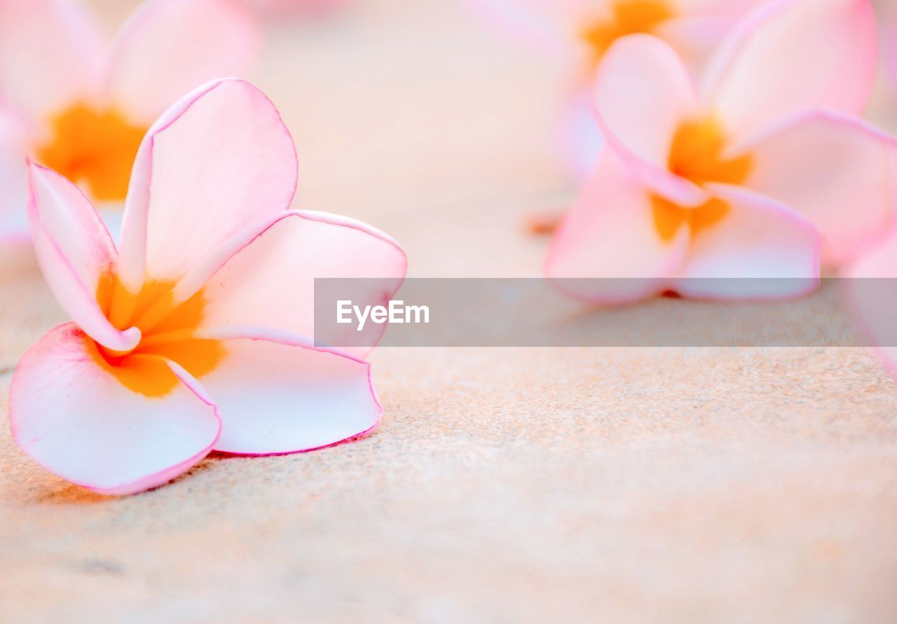 flower, flowering plant, plant, petal, selective focus, beauty in nature, freshness, pink color, close-up, inflorescence, no people, flower head, fragility, nature, vulnerability, frangipani, outdoors, growth, day, still life