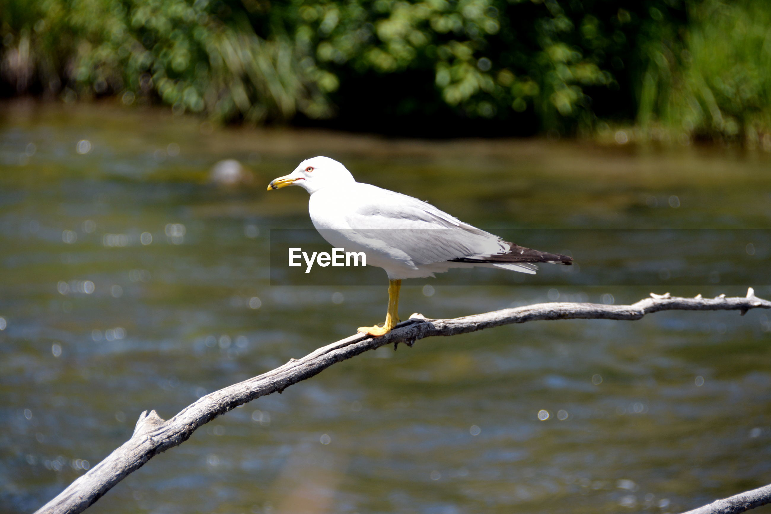 Seagull perching on branch over lake
