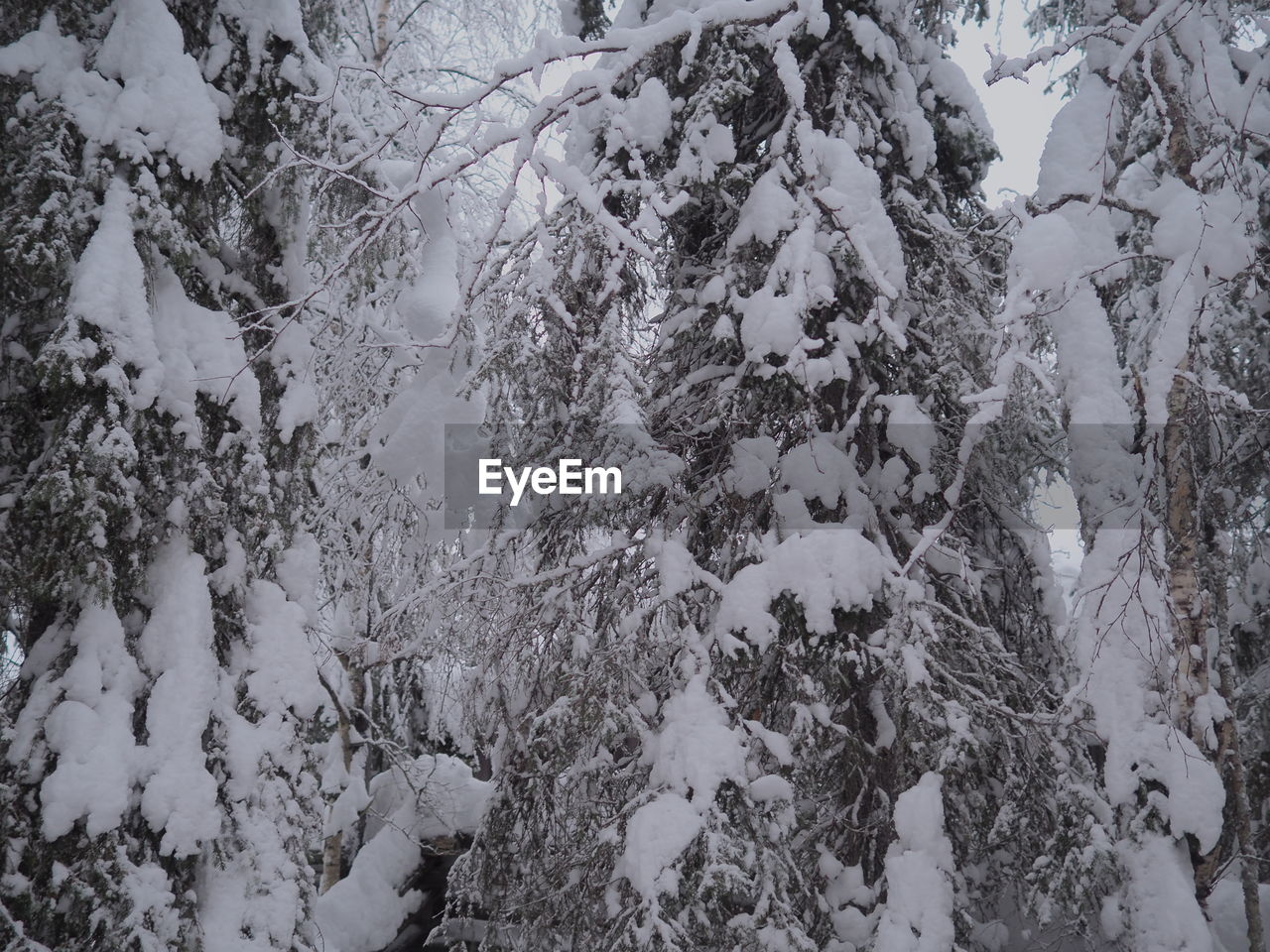 snow, winter, cold temperature, tree, plant, beauty in nature, nature, no people, frozen, tranquility, branch, day, white color, covering, scenics - nature, forest, land, tranquil scene, growth, outdoors, extreme weather, snowing, blizzard
