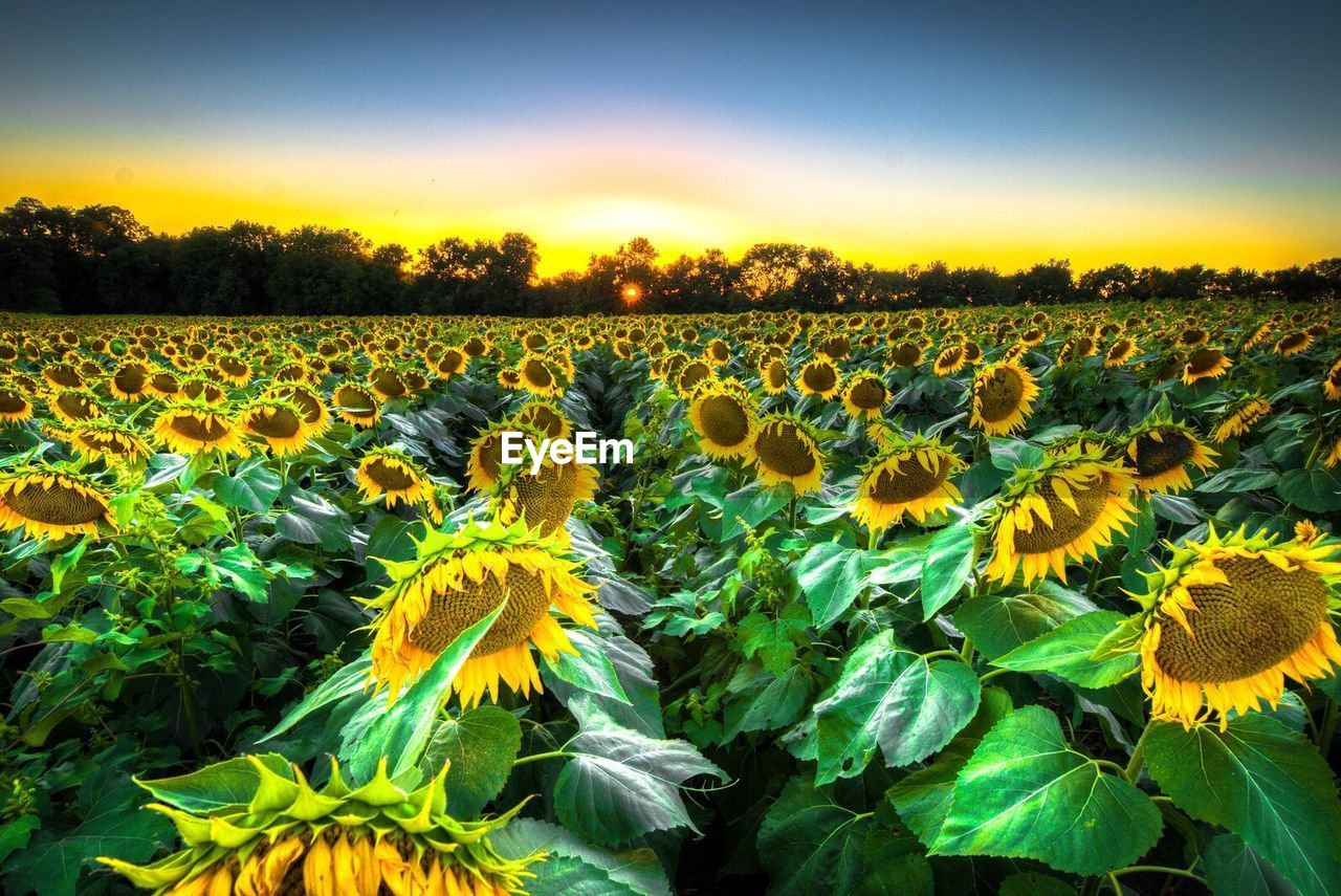 flower, growth, nature, beauty in nature, field, plant, yellow, tranquility, fragility, outdoors, no people, freshness, sunflower, landscape, blooming, sky, rural scene, day, flower head