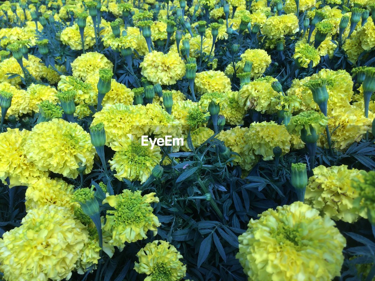 flower, freshness, growth, fragility, nature, abundance, yellow, plant, in a row, vibrant color, variation, beauty in nature, vegetable, agriculture, full frame, backgrounds, market, leaf, green color, retail, flower head, no people, springtime, day, multi colored, flowerbed, outdoors, marigold, close-up, flower market
