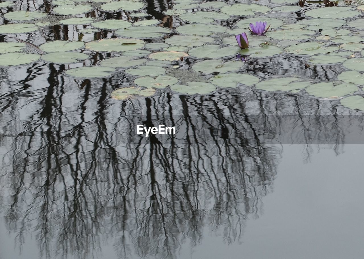 flower, nature, beauty in nature, water, growth, reflection, lake, plant, water lily, leaf, no people, waterfront, tranquility, outdoors, floating on water, day, tree, fragility, freshness, lily pad, close-up
