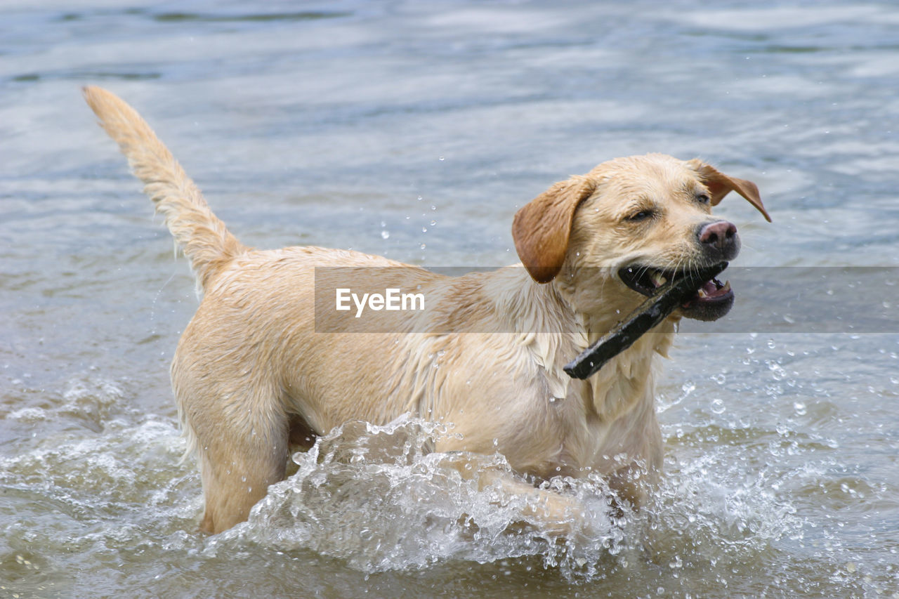 canine, dog, pets, domestic, mammal, water, one animal, domestic animals, animal, animal themes, motion, retriever, sea, day, labrador retriever, splashing, nature, running, vertebrate, no people