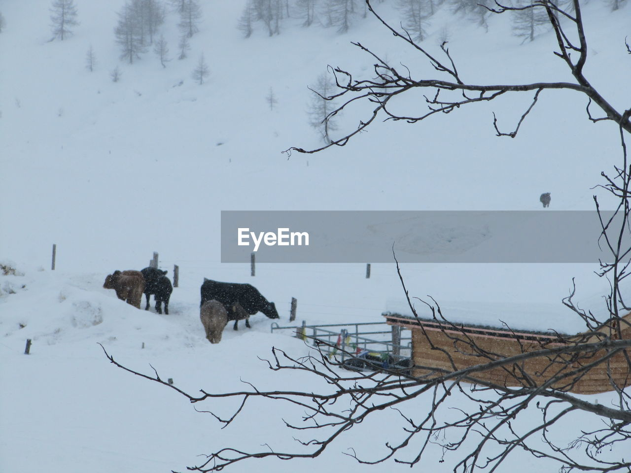 Animals grazing on snow covered landscape
