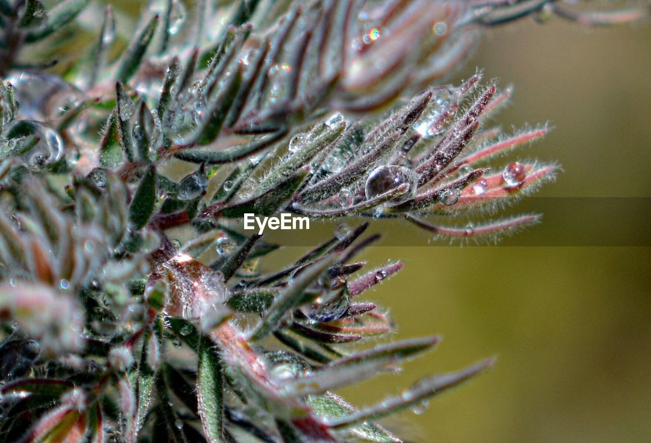 plant, close-up, growth, beauty in nature, cold temperature, tree, day, drop, nature, no people, selective focus, branch, winter, frozen, pine tree, green color, wet, focus on foreground, water, ice, coniferous tree, outdoors, needle - plant part, fir tree, raindrop, dew, leaves