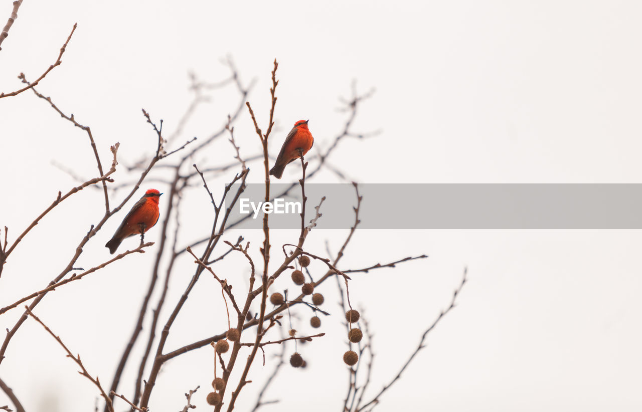 Low angle view of robins perching on bare tree against clear sky