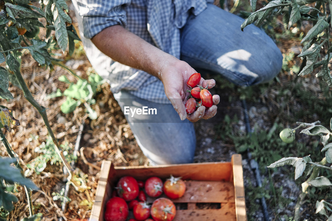 MIDSECTION OF MAN HOLDING STRAWBERRY IN FARM