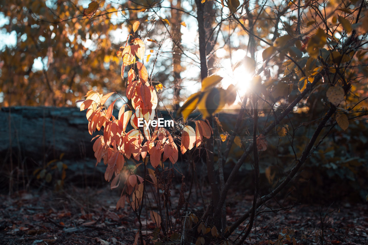 plant, nature, beauty in nature, sunlight, orange color, leaf, tree, plant part, growth, autumn, land, focus on foreground, no people, change, day, sun, field, tranquility, close-up, outdoors, lens flare, leaves, autumn collection