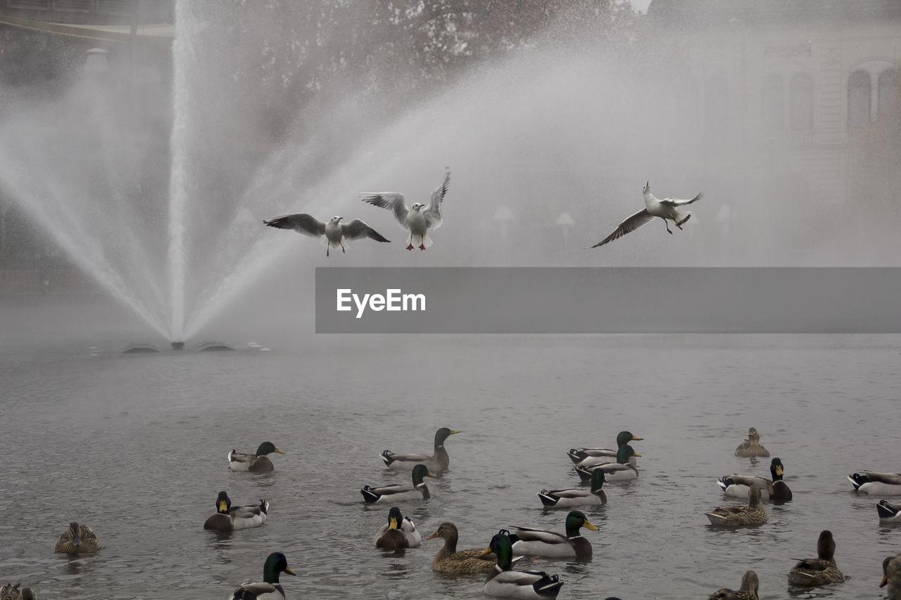Seagulls Flying Over Mallard Ducks In Lake Against Fountain
