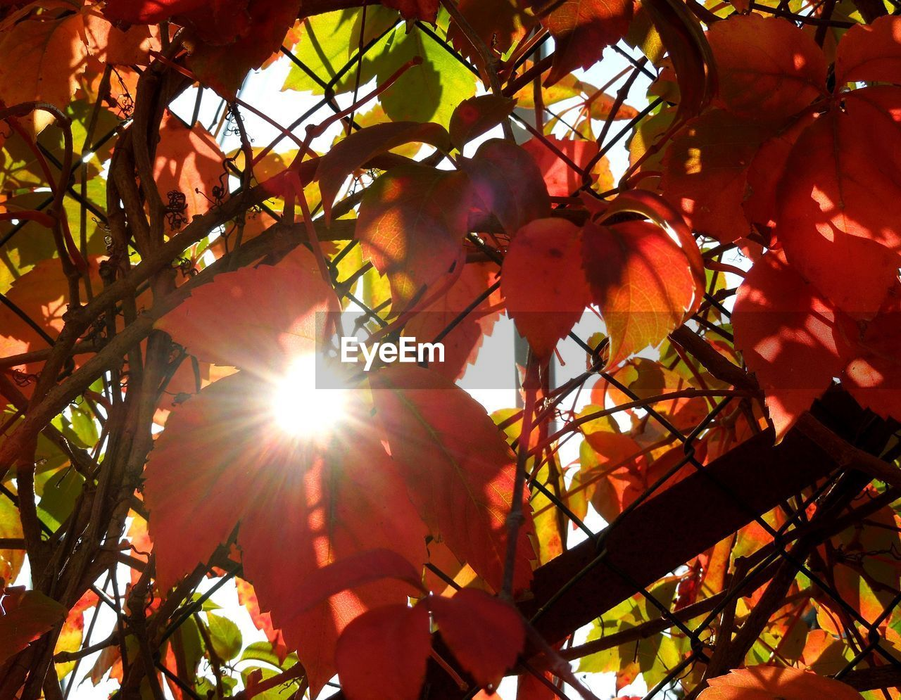 sunbeam, sunlight, sun, lens flare, growth, tree, nature, low angle view, fruit, beauty in nature, no people, outdoors, day, leaf, branch, freshness