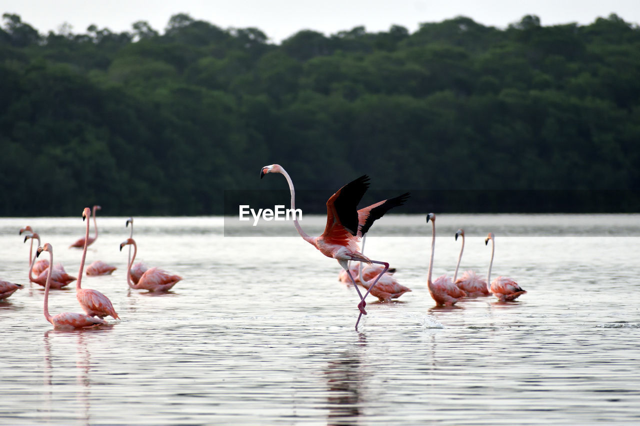 Flamingo taking off in shallow water, surrounded by other flock members.