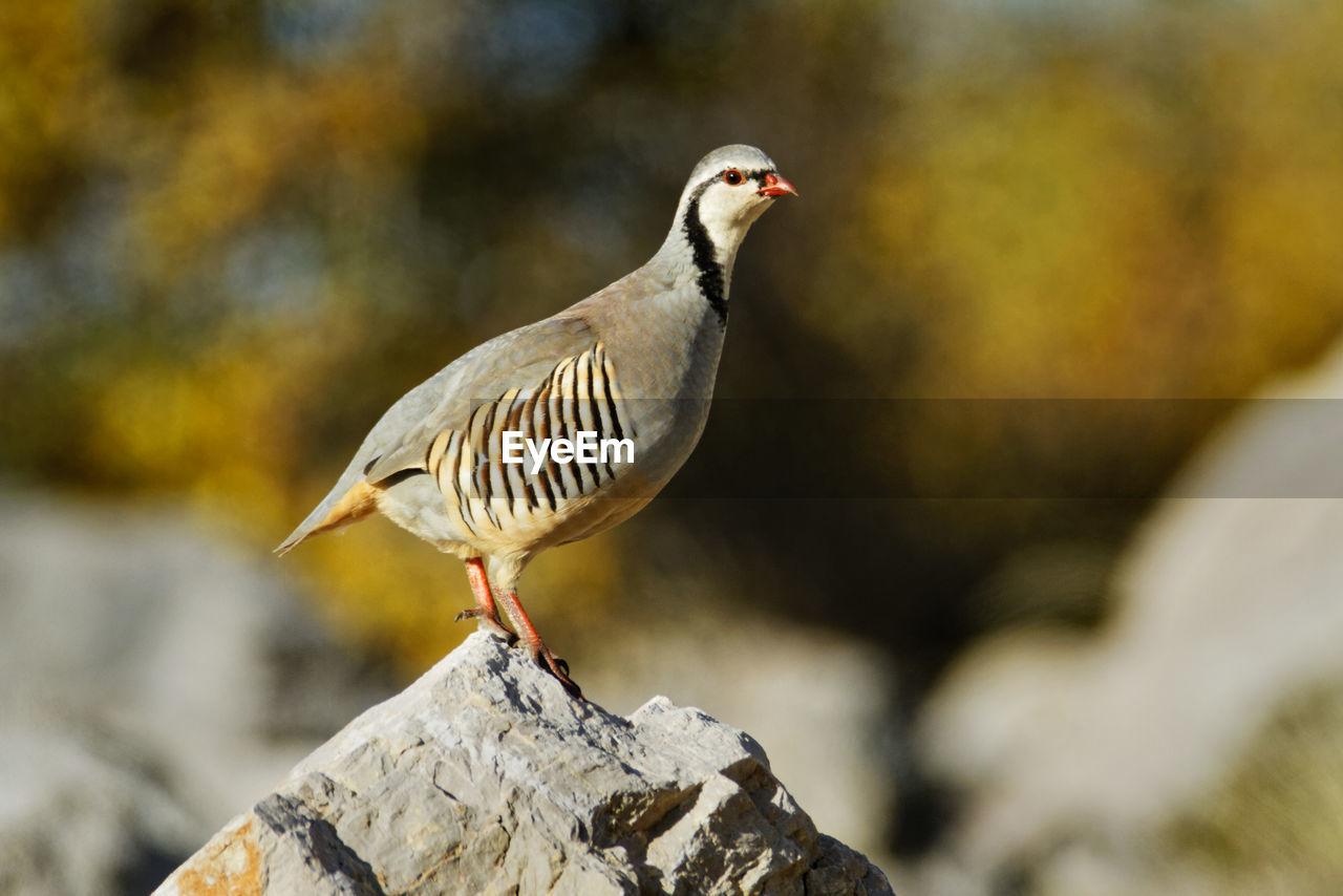 Close-up of bird rock partridge perching on rock