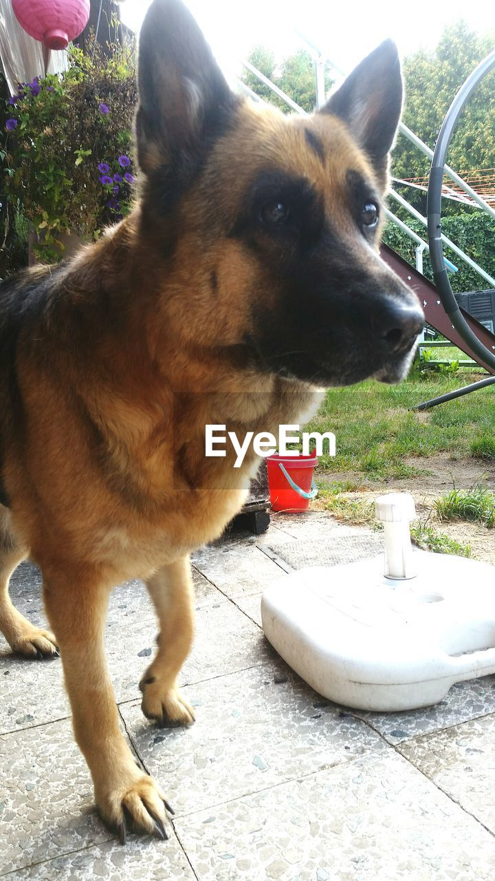 domestic, pets, domestic animals, mammal, one animal, animal themes, dog, canine, animal, vertebrate, day, looking, looking away, no people, close-up, nature, outdoors, front or back yard, standing, german shepherd, animal head
