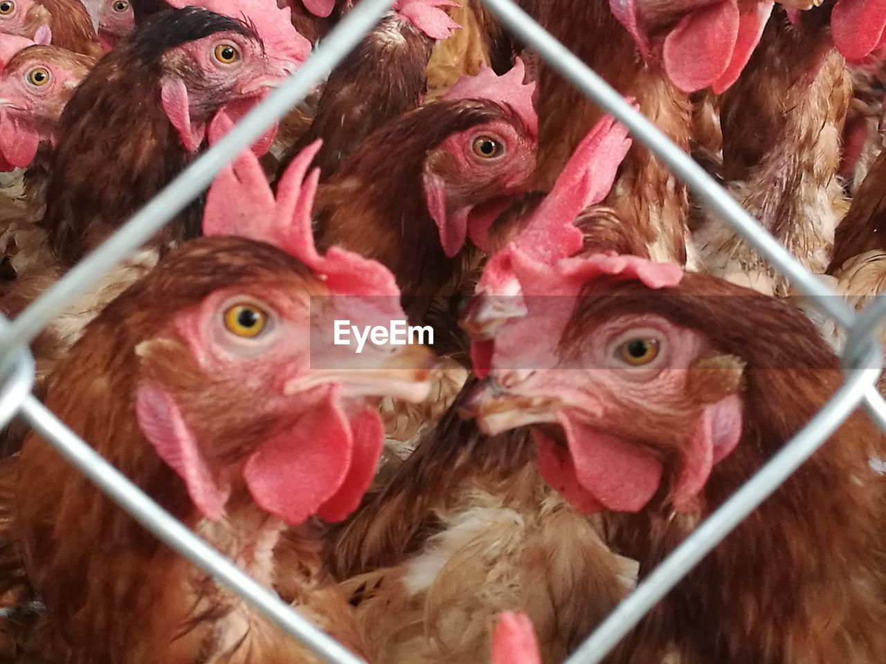 Close-Up Of Chicken Seen Through Chainlink Fence