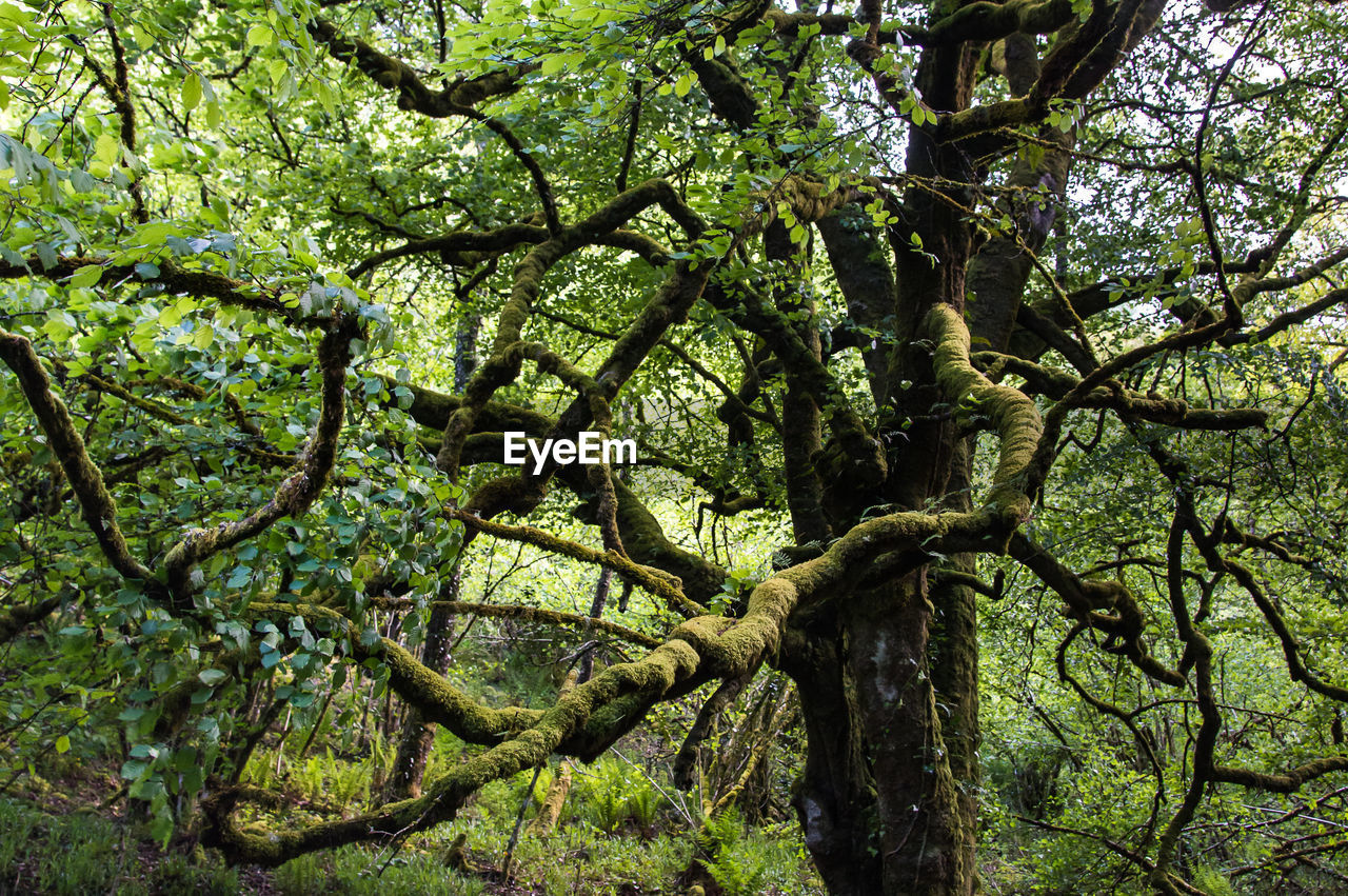 tree, plant, branch, growth, nature, green color, beauty in nature, tranquility, forest, tree trunk, land, trunk, day, no people, scenics - nature, outdoors, backgrounds, plant part, environment, foliage, woodland, rainforest, tree canopy
