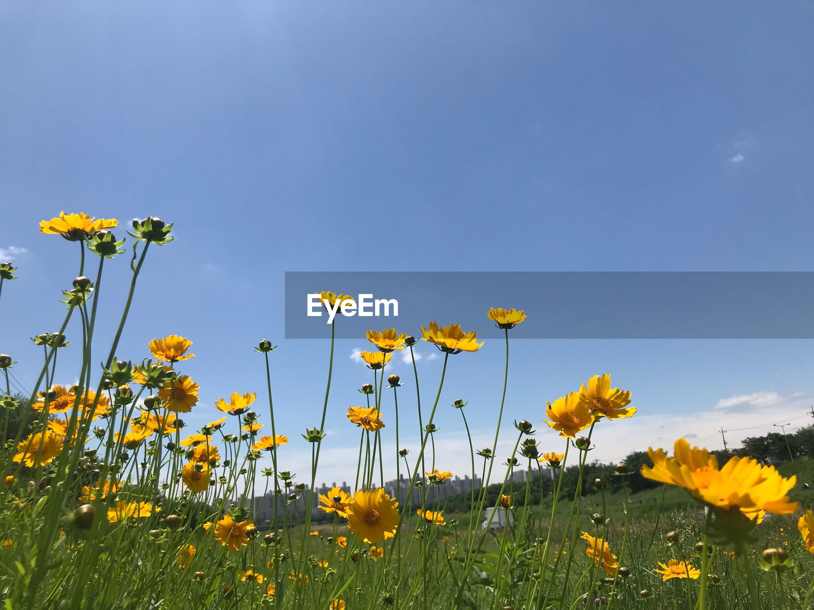 CLOSE-UP OF YELLOW FLOWERING PLANT ON FIELD AGAINST BLUE SKY