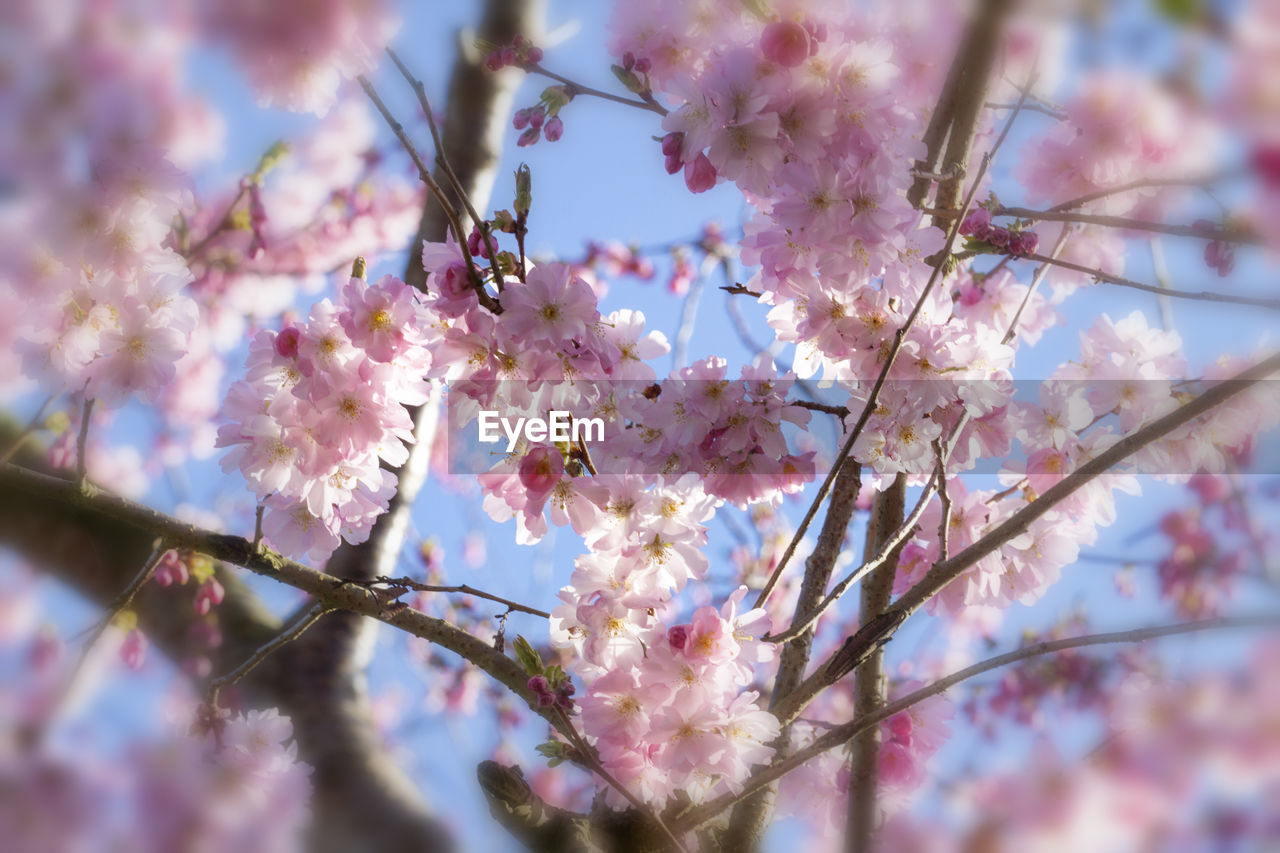 flowering plant, flower, plant, freshness, growth, fragility, beauty in nature, vulnerability, springtime, blossom, pink color, tree, selective focus, branch, cherry blossom, close-up, low angle view, day, nature, cherry tree, no people, outdoors, flower head, pollen, spring, bunch of flowers, purple