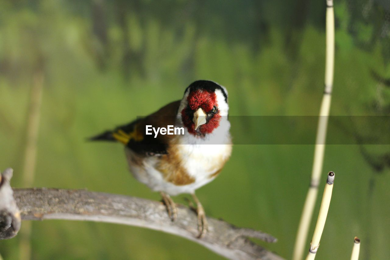 animal themes, bird, animal, animal wildlife, one animal, animals in the wild, vertebrate, focus on foreground, perching, day, no people, close-up, nature, plant, tree, selective focus, outdoors, branch, songbird, beauty in nature, mouth open, aggression
