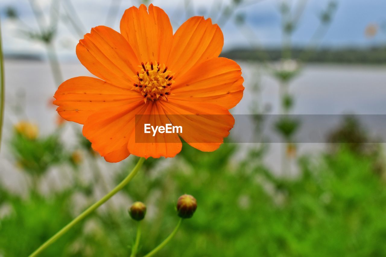 flowering plant, flower, plant, growth, beauty in nature, focus on foreground, fragility, flower head, inflorescence, freshness, petal, vulnerability, orange color, close-up, no people, day, nature, pollen, cosmos flower, plant stem, outdoors, orange