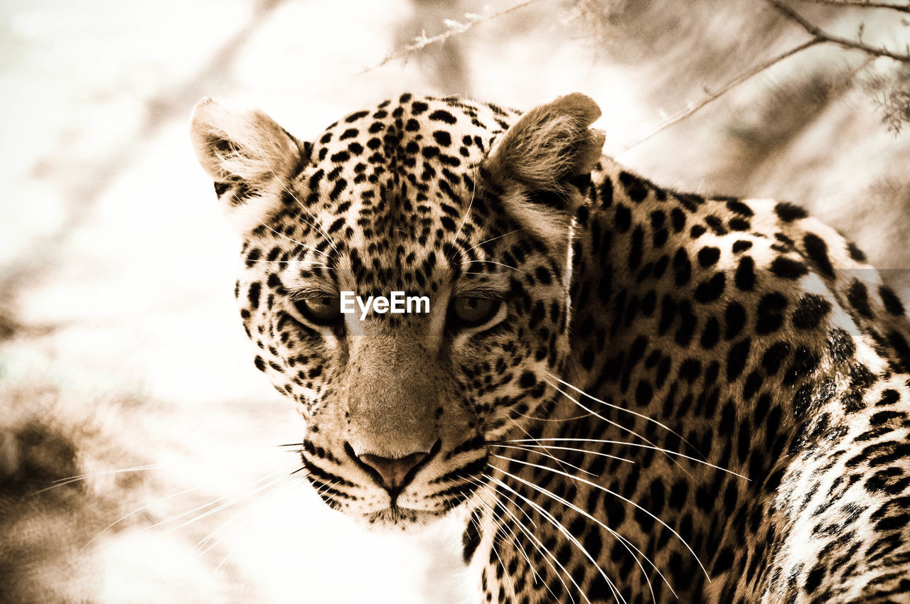 Close-Up Of Leopard Against Sky