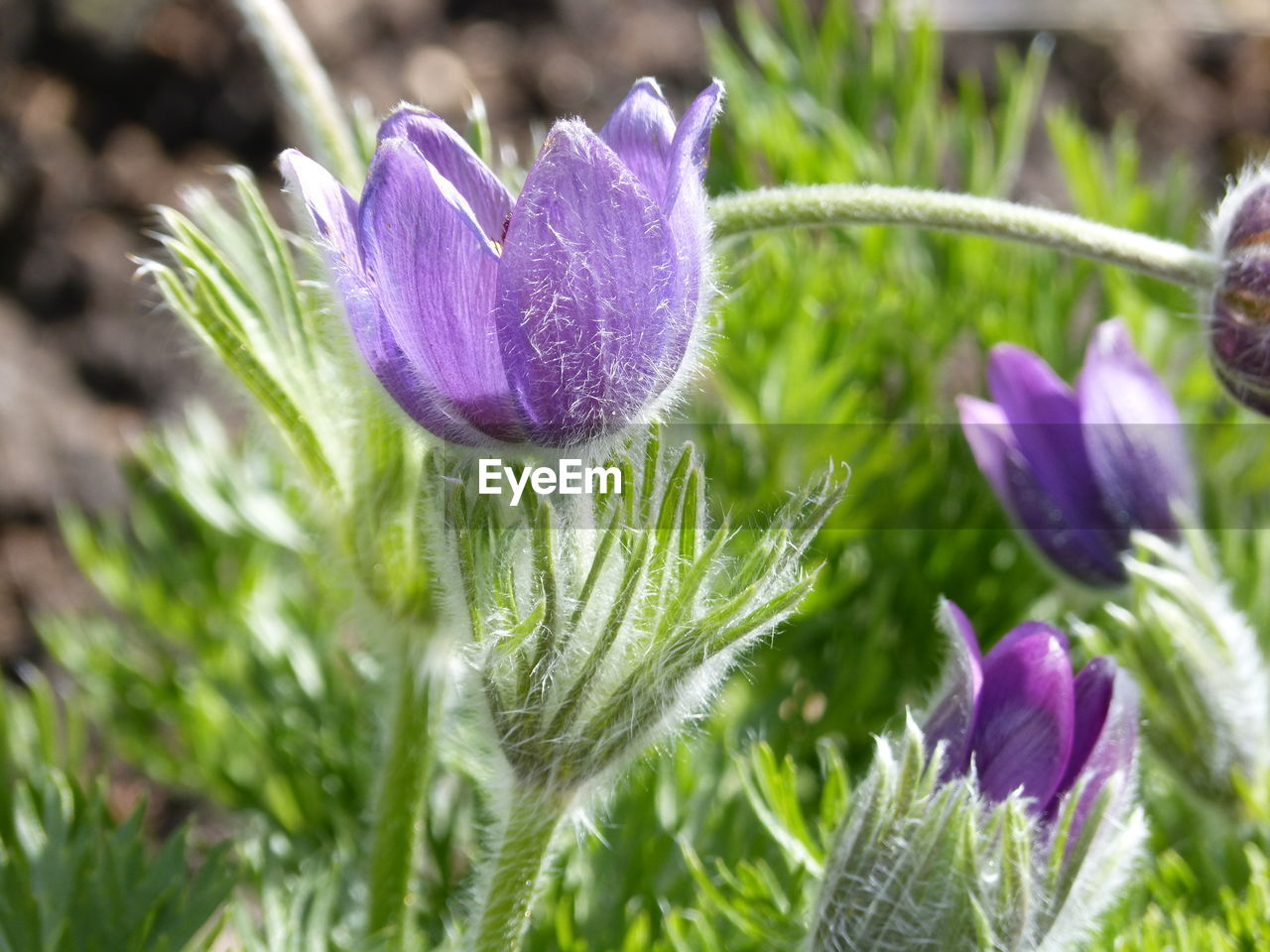 nature, growth, plant, flower, purple, beauty in nature, fragility, freshness, close-up, day, no people, outdoors, green color, petal, flower head, blooming, thistle, crocus