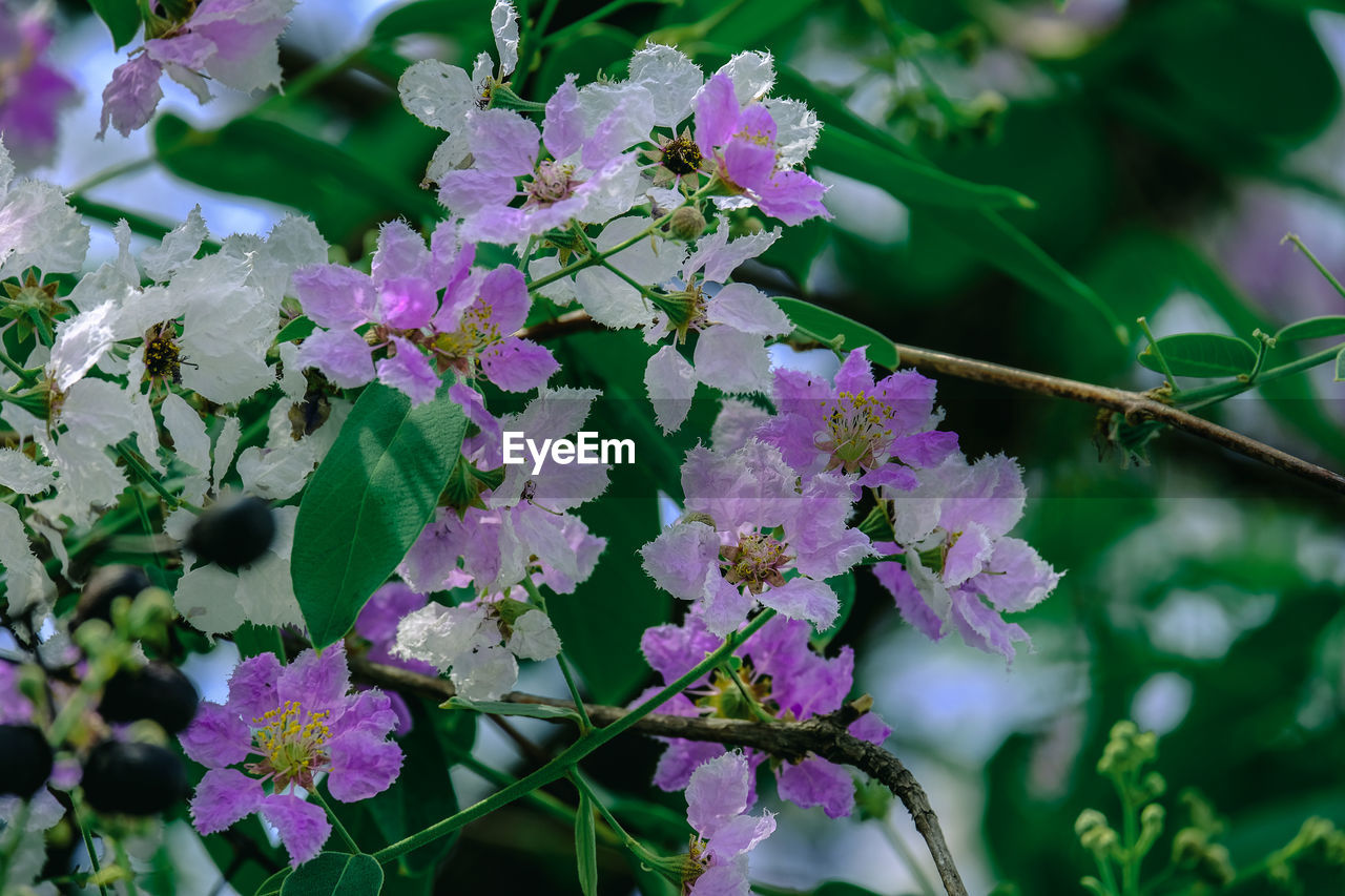 CLOSE-UP OF PURPLE FLOWERING PLANT WITH PINK FLOWERS