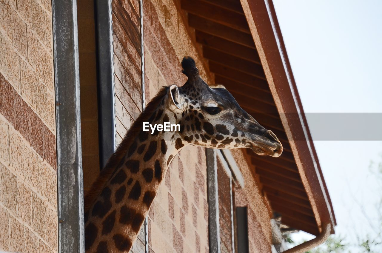 animal, animal themes, one animal, animal wildlife, mammal, giraffe, animals in the wild, vertebrate, day, no people, animal body part, animal markings, domestic animals, nature, focus on foreground, built structure, low angle view, outdoors, animal head, herbivorous, zoo, animal neck