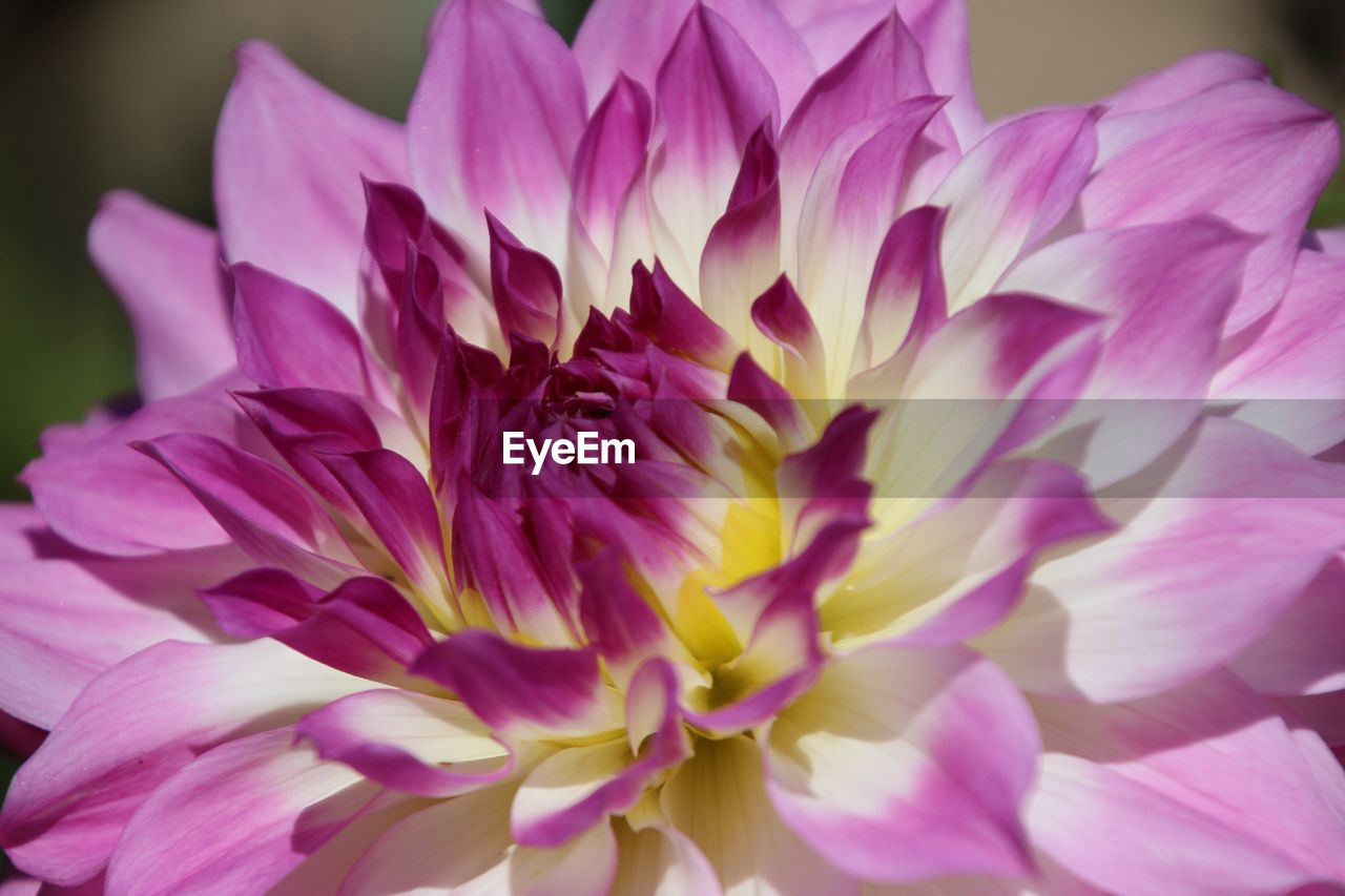 flower, petal, flower head, beauty in nature, fragility, purple, nature, no people, freshness, growth, close-up, pink color, day, plant, outdoors, blooming