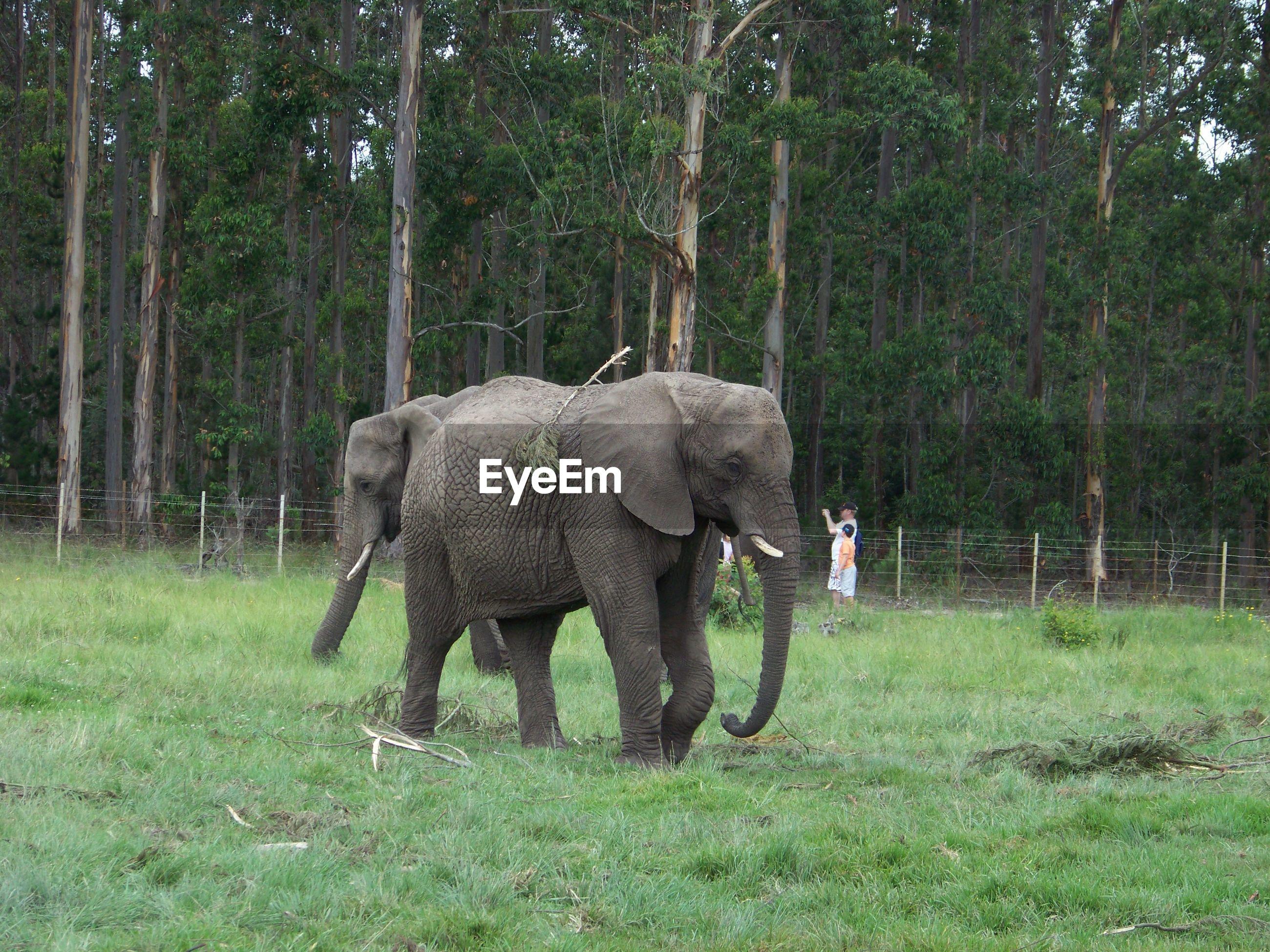 Elephants walking on grassy field at forest