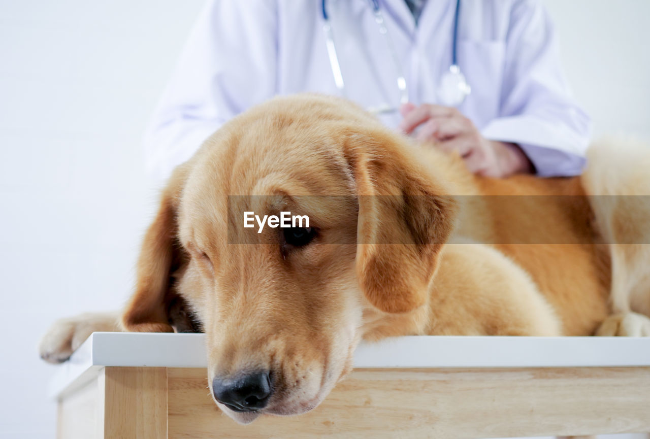 Midsection Of Vet Examining Dog