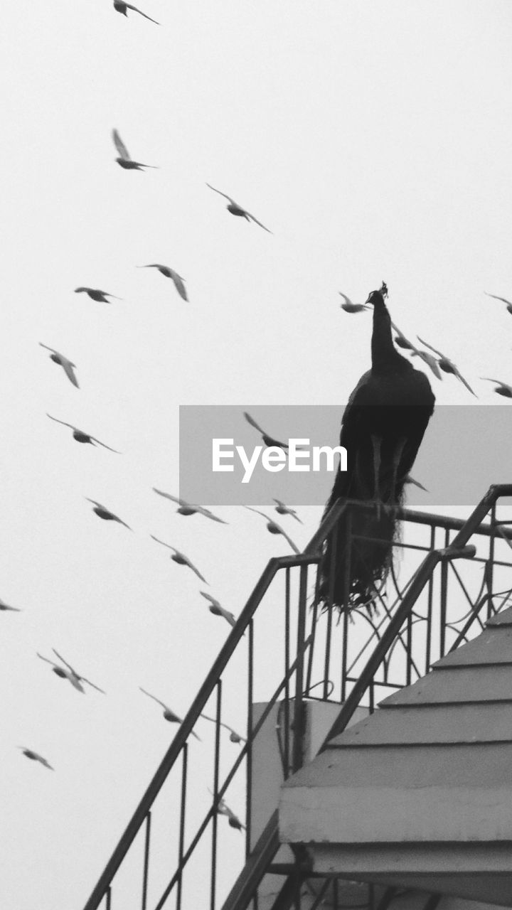 bird, animals in the wild, animal themes, low angle view, animal wildlife, flying, outdoors, togetherness, day, nature, full length, spread wings, no people, sky