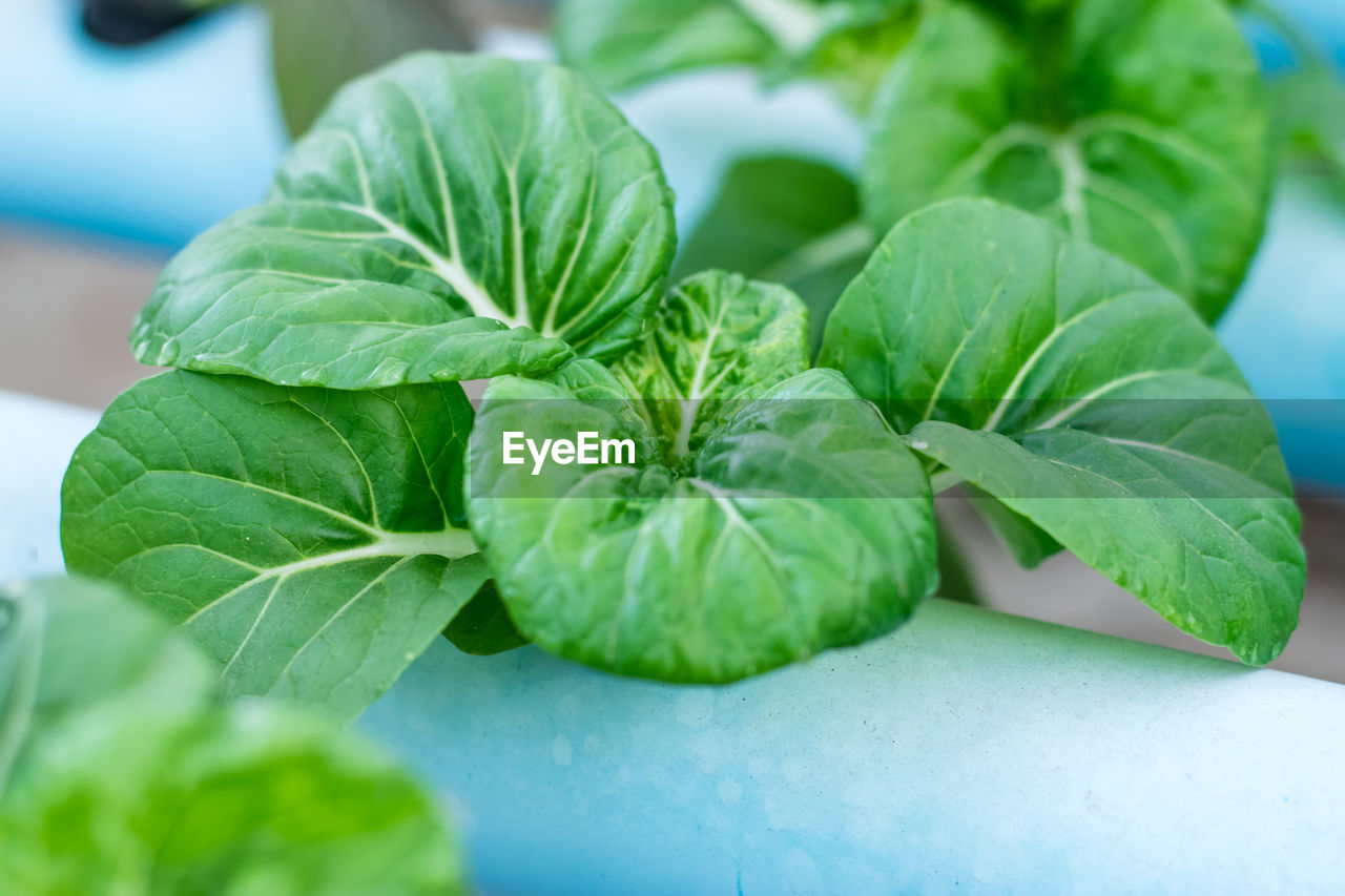green color, leaf, plant part, plant, close-up, growth, no people, freshness, nature, beauty in nature, herb, food, leaf vein, focus on foreground, day, food and drink, wellbeing, selective focus, basil, outdoors, leaves, mint leaf - culinary