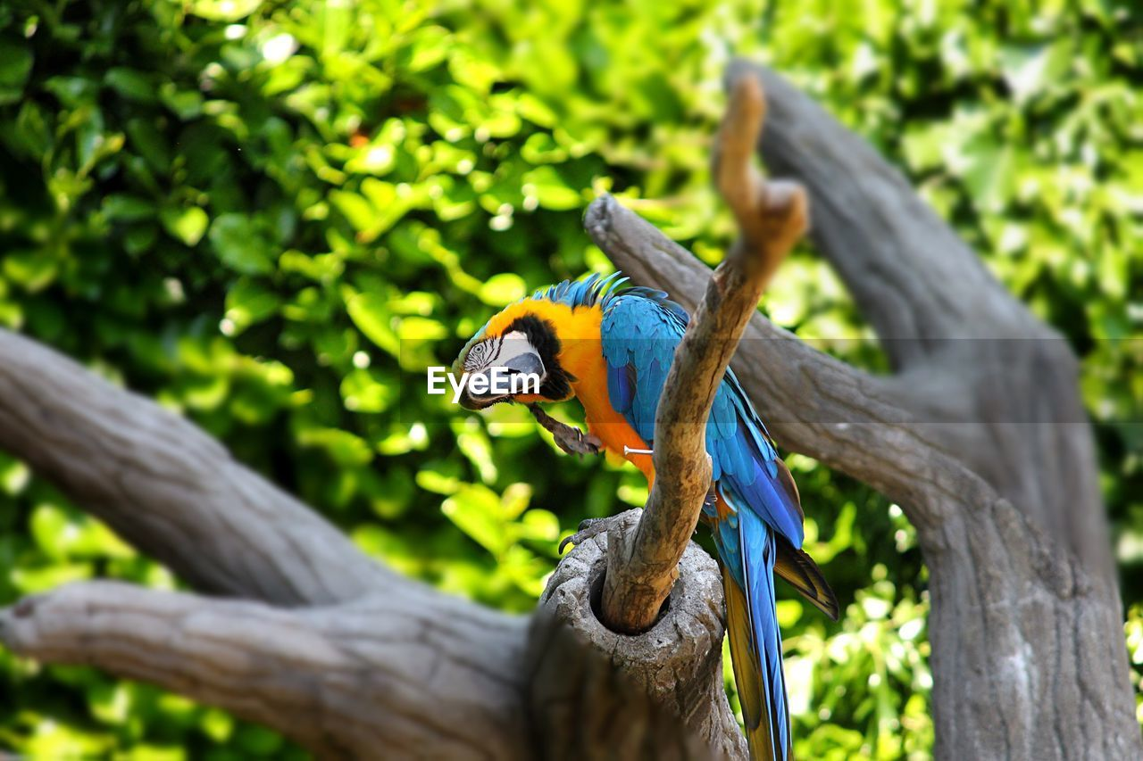 animal wildlife, animal themes, animals in the wild, animal, one animal, bird, vertebrate, tree, plant, focus on foreground, perching, branch, parrot, no people, day, nature, wood - material, outdoors, macaw, close-up