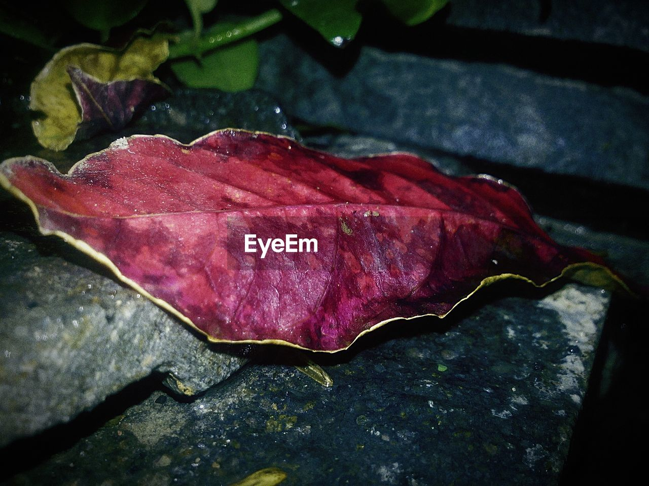 leaf, autumn, change, dry, close-up, no people, day, maple leaf, nature, outdoors, red, fragility, maple, beauty in nature, water