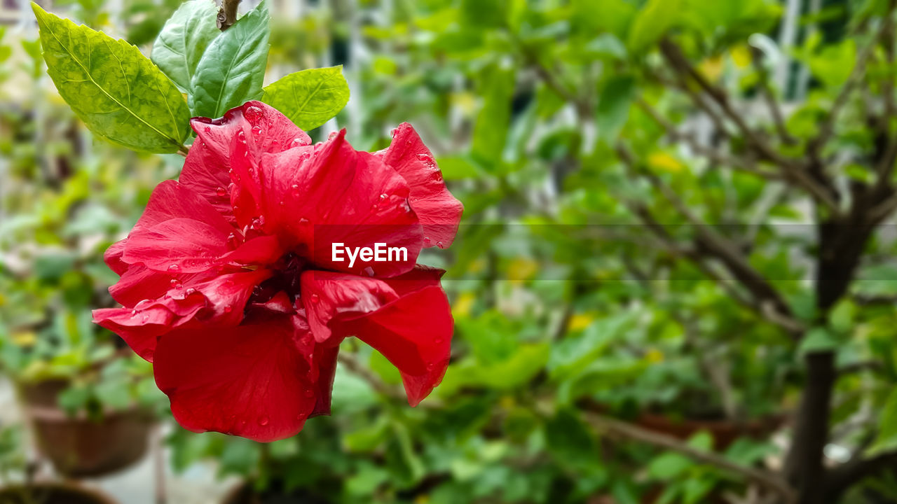 red, flower, fragility, petal, beauty in nature, growth, nature, flower head, hibiscus, freshness, focus on foreground, day, plant, no people, close-up, blooming, outdoors, leaf, petunia, periwinkle
