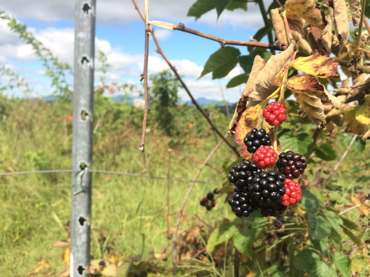 Close-up of blackberries hanging on plant