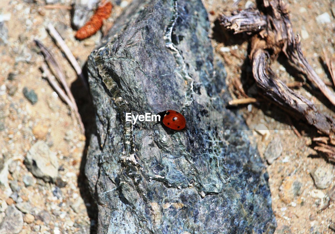 beetle, ladybug, animal, insect, animals in the wild, animal themes, animal wildlife, no people, close-up, invertebrate, textured, red, day, one animal, nature, spotted, high angle view, outdoors, tree, selective focus